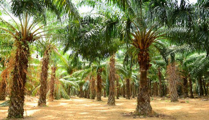 A palm oil plantation (Photo by Alamy)