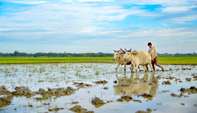 A farmer ploughing a paddy field (Photo by Badal Chandra Sarker/Alamy)