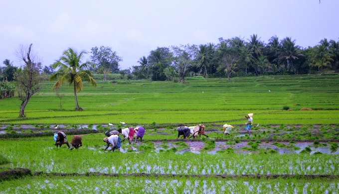 Farmers transplanting rice in India (Photo by Flickr)