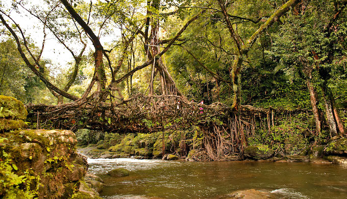 Bridges made of living roots in the biodiversity hotspots of northeast India are good examples of nature-friendly traditions (Photo by Alamy)