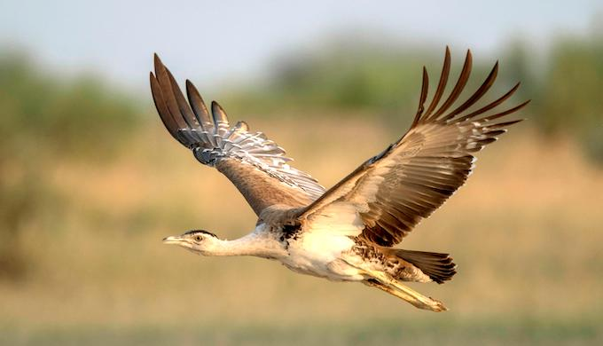 Loss of habitat and ecosystem pressures have brought the Great Indian Bustard to the brink of extinction (Photo by Alamy)