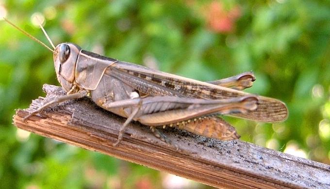 Pesticides to kill locusts harm ecosystems, signature fauna - India Climate  Dialogue
