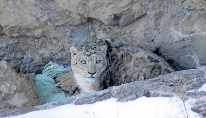 Climate change forces snow leopards into conflicts with common leopards