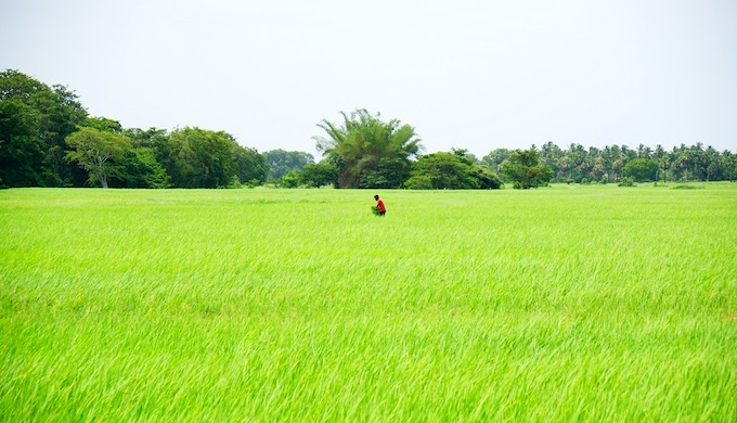 A rice farm in India (Photo by Dileep Kaluaratchie/Pixabay)