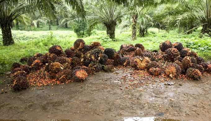 Harvested oil palm fruits at a plantation in southern India (Photo by Alamy)